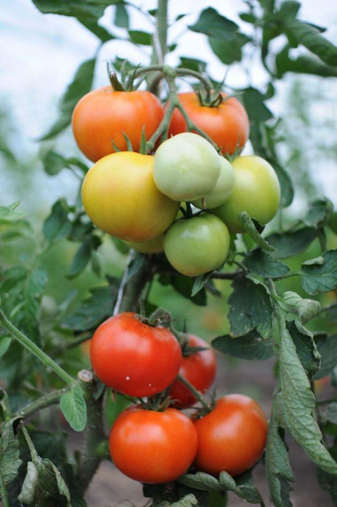 La Ferme de Kerhet - tomates de toutes les couleurs
