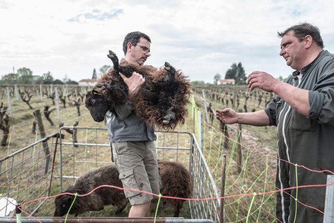 Le Jardin d'Édouard - moutons