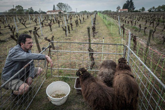 Le Jardin d'Édouard - moutons tondeuse