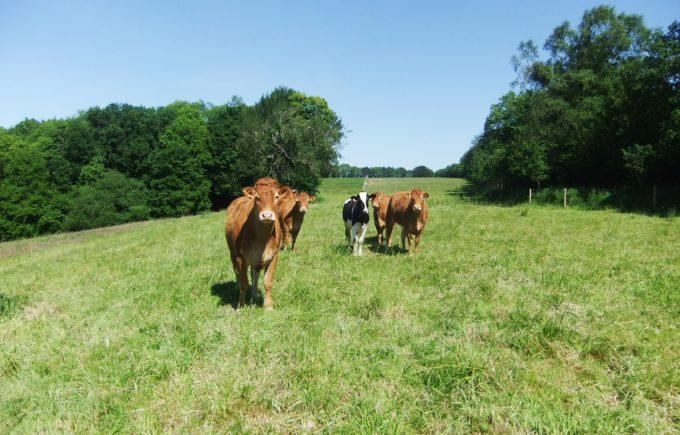 La Petite Ferme de Kerallouant - génisses à l'herbe