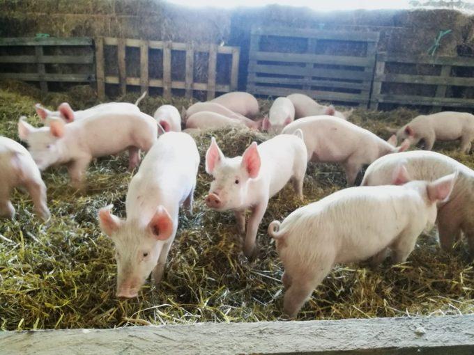 Le P'tit Fermier de Kervihan - cochons sur paille