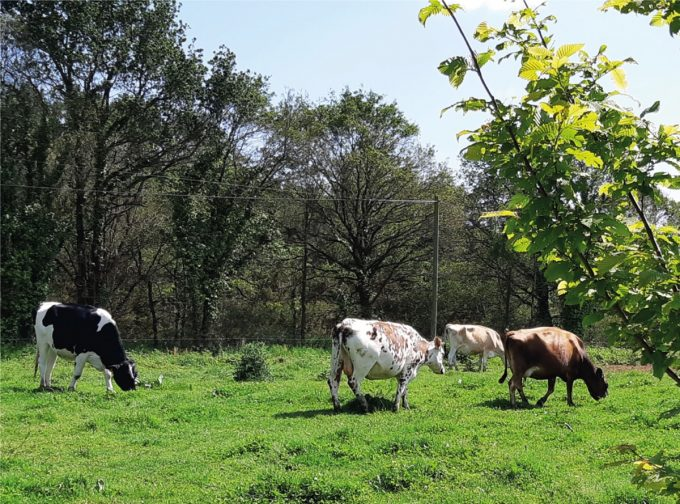 Le P'tit Fermier de Kervihan - vaches au pré