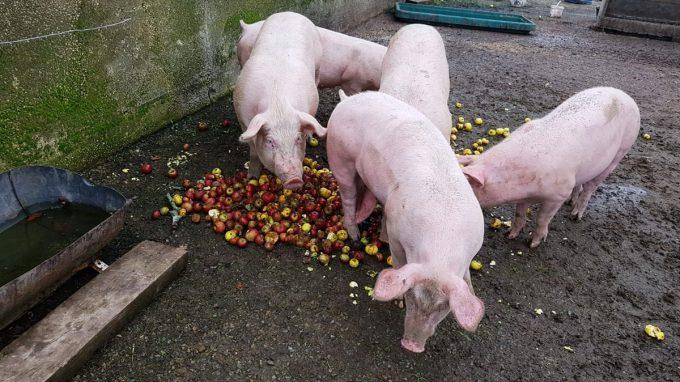 Le P'tit Fermier de Kervihan - cochons bien nourris