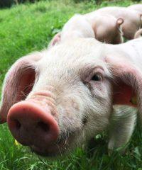 Les Cochons de Porh le Gall