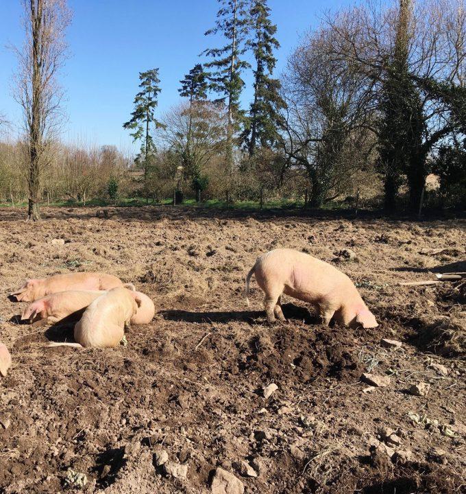 Les Cochons de Porh le Gall - cochons fouisseurs