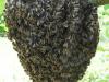 Essaim d'abeille noire bretonne