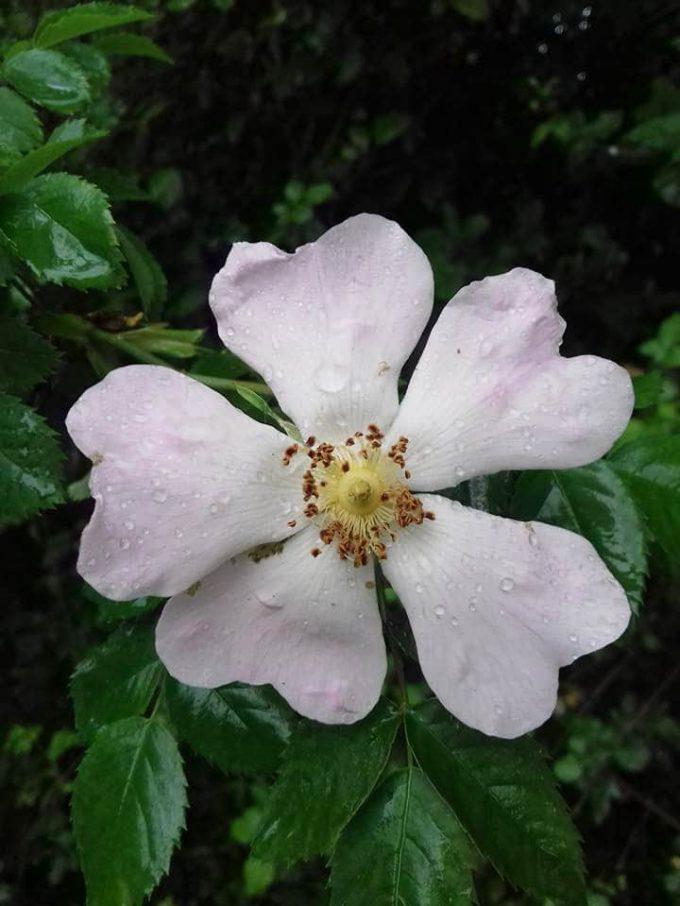 Les Ruchers des Grés - fleur mellifère