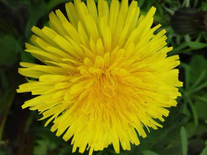 Les Ruchers des Grés - fleur du pissenlit