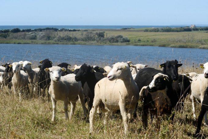 Les moutons élevés en plein air