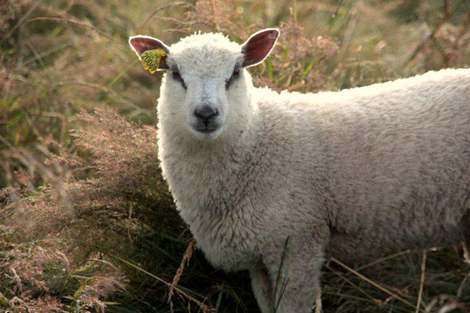 Un agneau de la Bergerie du Menez Hom