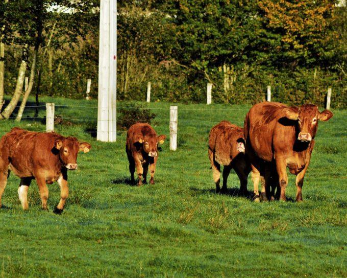 Vaches élevées en plein air