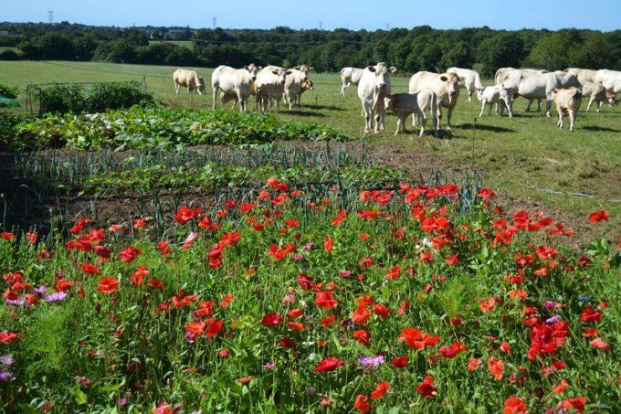 Les vaches ont vue sur les fleurs