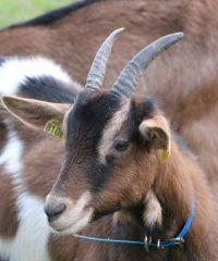 Les Chèvres de Kergotin