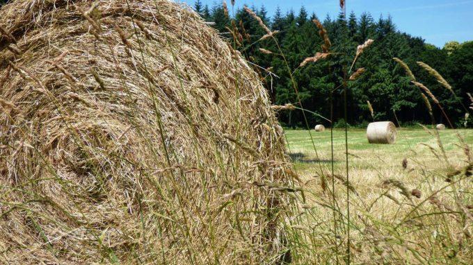 Vaches nourries à l'herbe