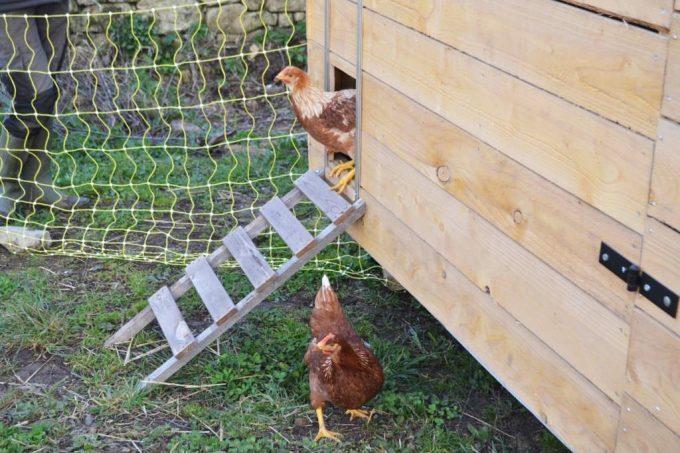 Graines de Saint Germain - poules pondeuses