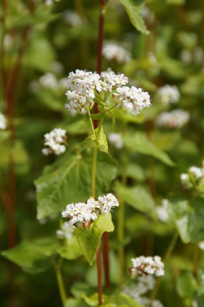 Fleur de sarrasin, qui donne le miel du même nom