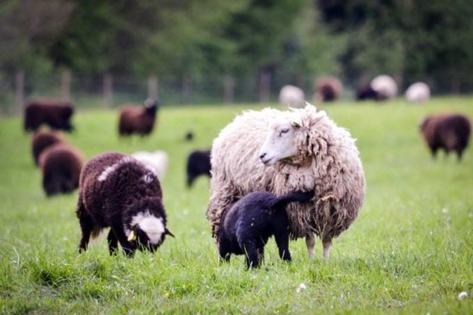 Moutons des Landes - Proche Quimper
