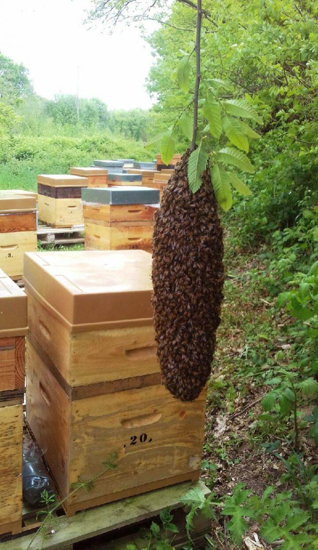 Un essaim et des ruchers