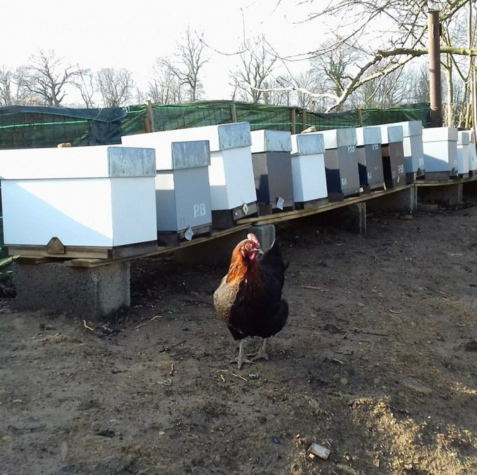 Les poules choyées
