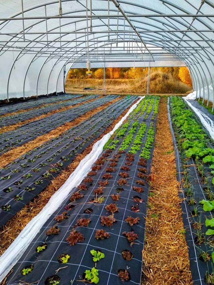 Légumes au chaud dans les serres
