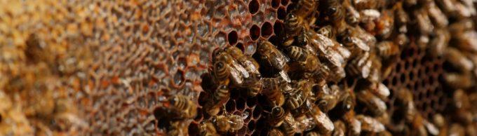 Les abeilles s'affèrent