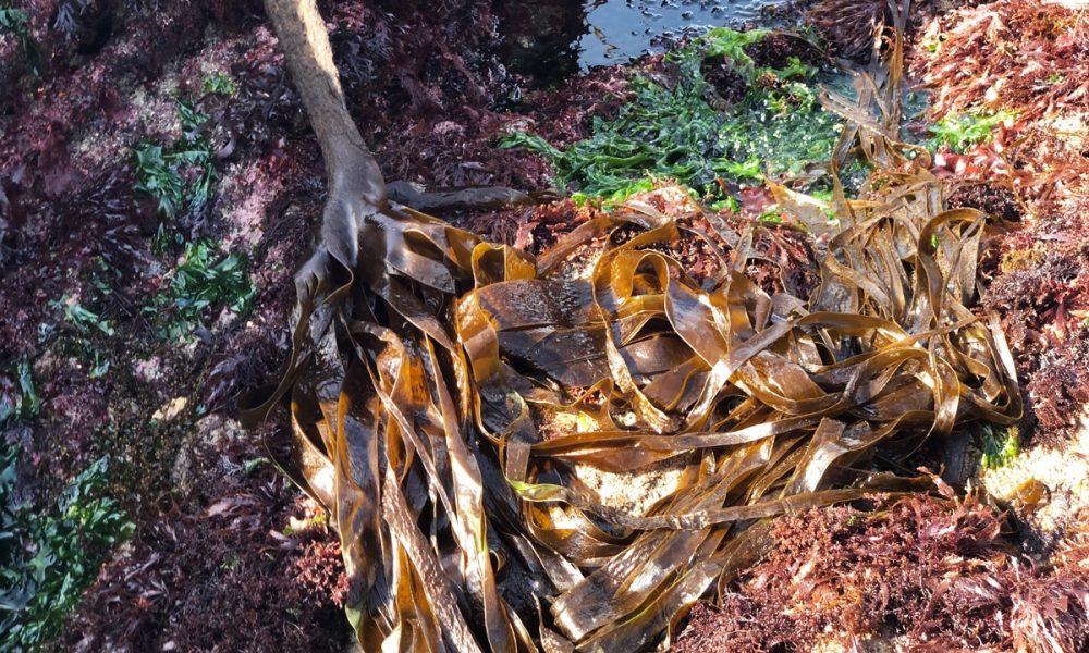Les algues comestibles : le guide complet