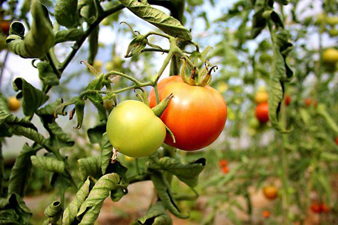 Tomates en serre