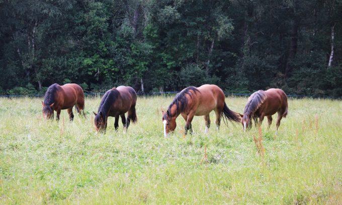 Élevage Ar Sav Heol - nos chevaux au pré