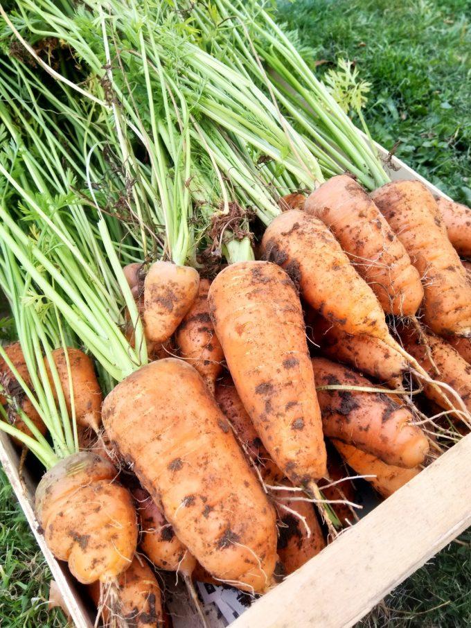 Au Jardin de l'Ellez - carottes des Monts d'Arrée