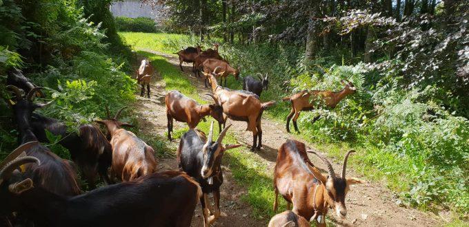 Chèvres en conduite sylvopastorale