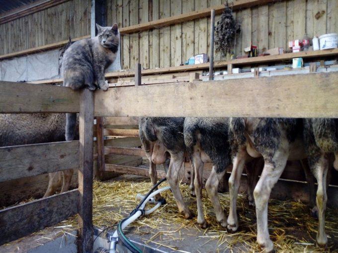 Traite sous l'oeil bienveillant du chat