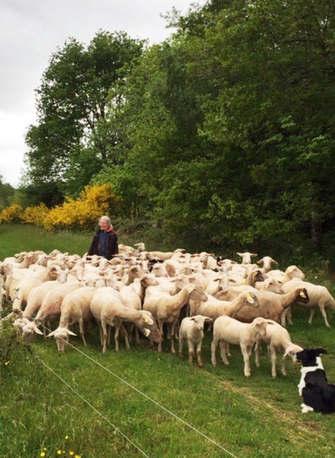 Bergerie de Kerrousset - le troupeau