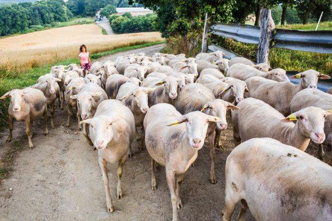 Ferme Penn Krec'h - Brebis à la bergerie
