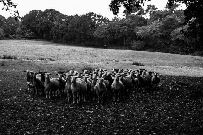 Bergerie de Pouldon - troupeau à l'herbe