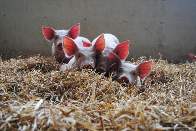 Cochons dans la paille