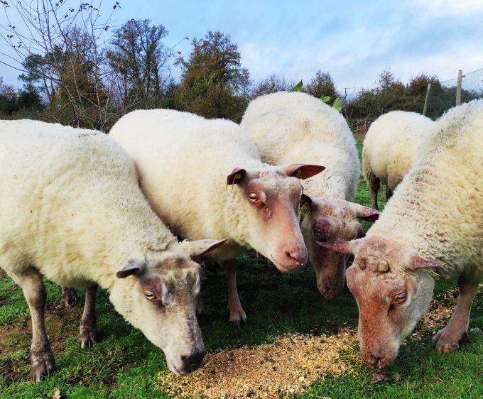 Charles Godet - moutons et agneaux