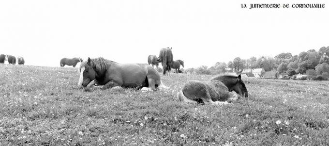 Participation à la protection de la race menacée du Cheval Breton