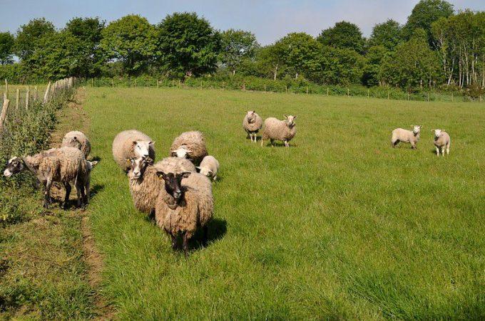 Moutons nourris à l'herbe