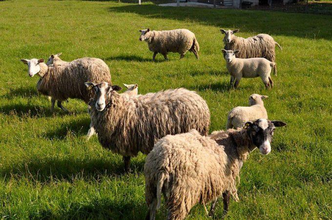 Moutons de plein air