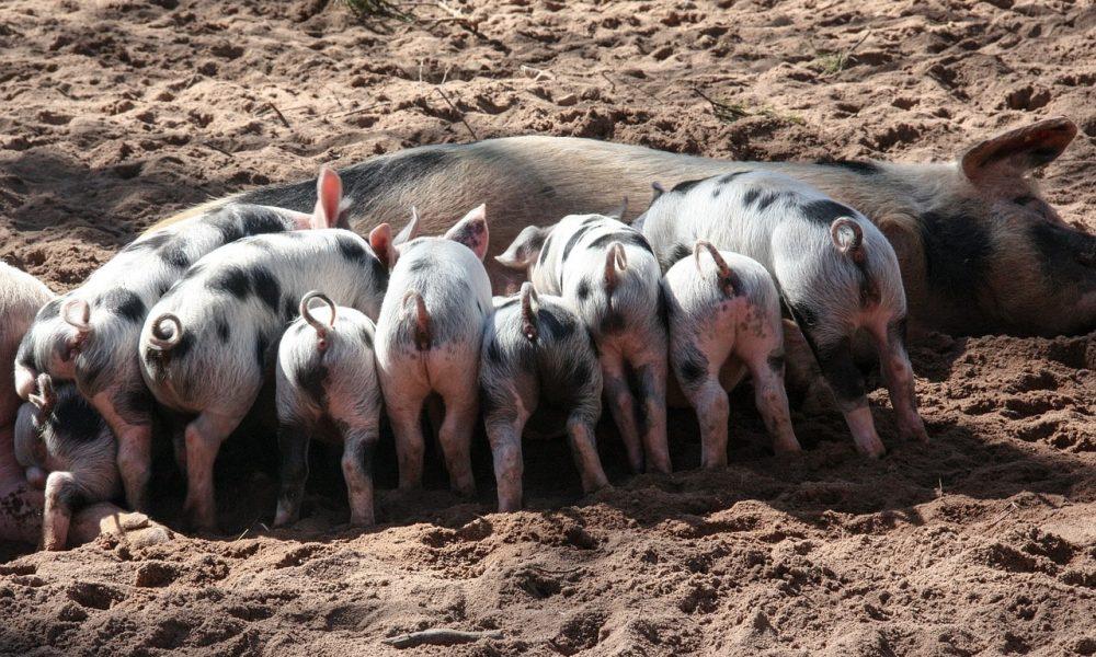 Les certifications et labels pour les élevages de porcs.