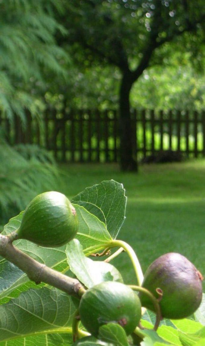 La Ferme Bio de Lintever - figues
