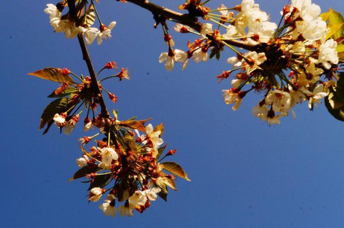 La Ferme Bio de Lintever - fruitiers en fleurs