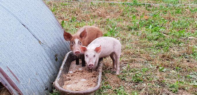Cochons nourris avec des résidus de brasserie