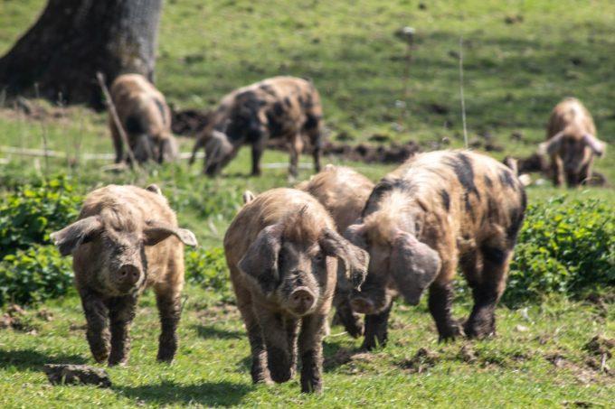 Porc Celte