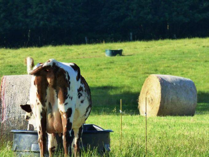 Ferme AB - Vaches nourries à l'herbe