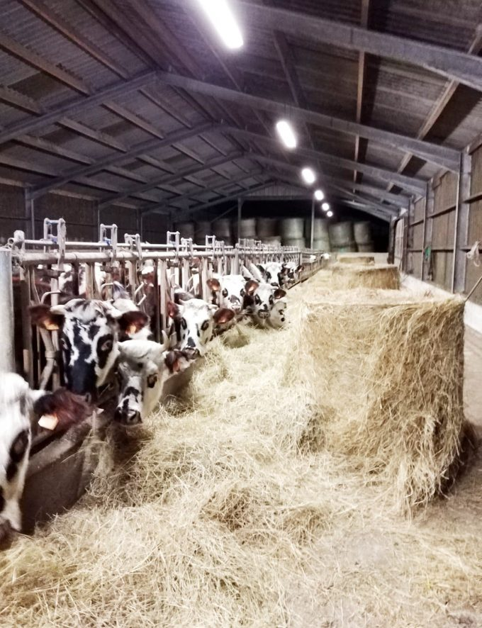 La Ferme de Saint Maudez - vaches nourries au foin