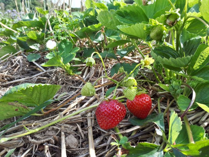 Nos fraises à cueillir