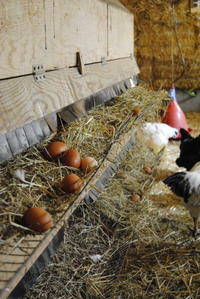 De bons œufs frais