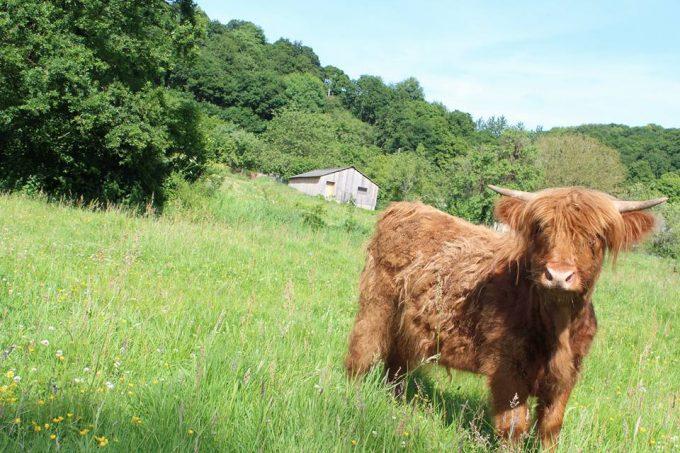 Notre vache au milieu des champs