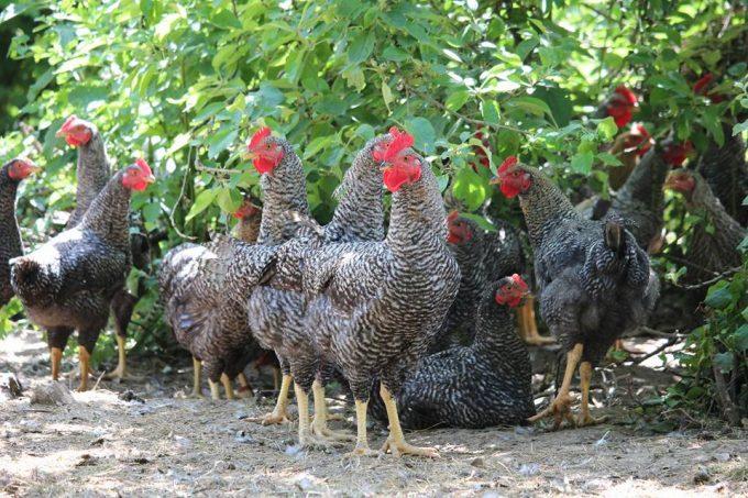 Nos poules